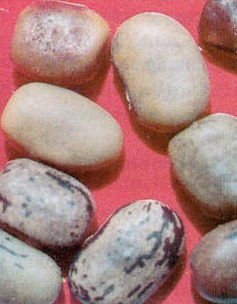 Comprar Centrosema Macrocarpum