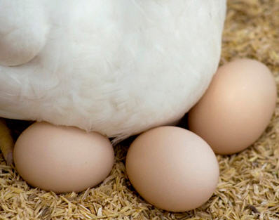 Huevos de gallinas