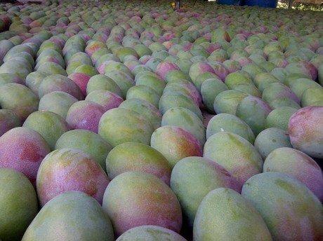 Comprar Mango Fresco Kent o Tommy