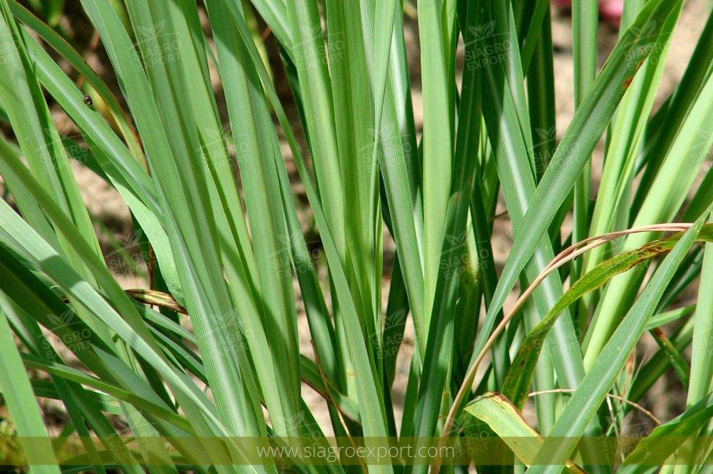 Comprar Hierba Luisa (cymbopogon Citratus)
