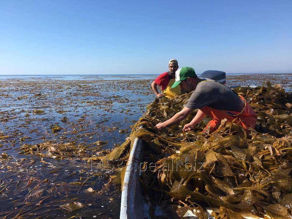 Comprar Algas macrocystis integrifolia
