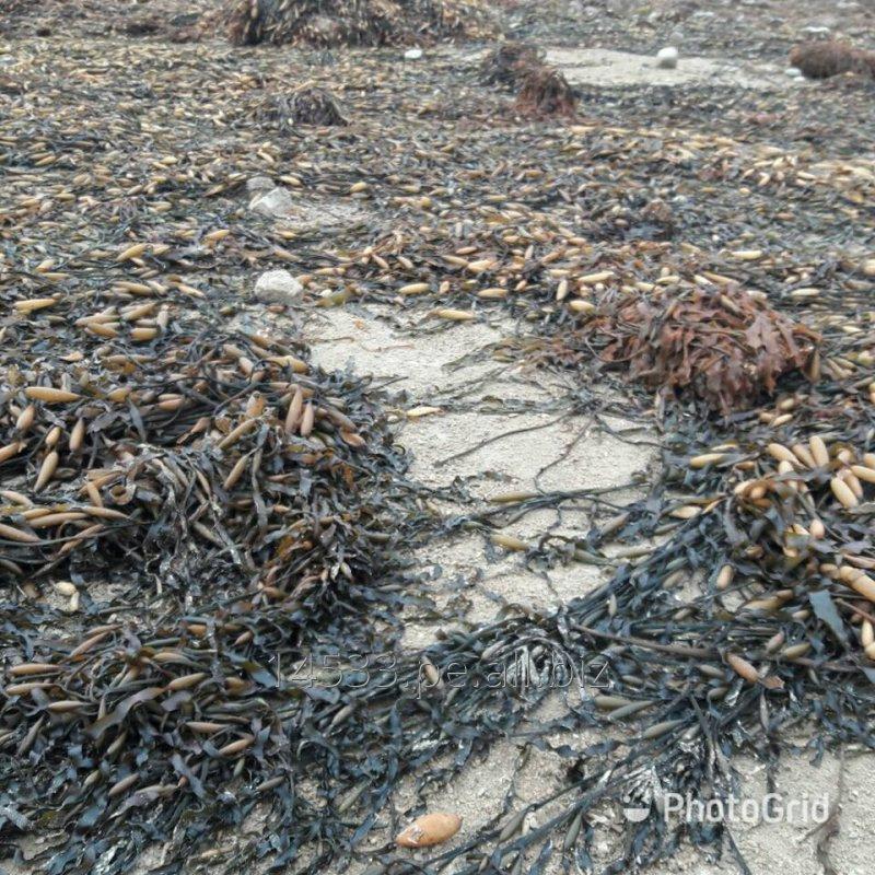 Comprar Seaweed algas