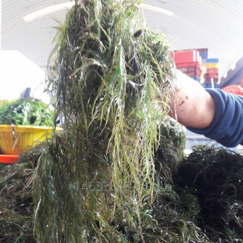 Comprar Seaweed chicorea de mar