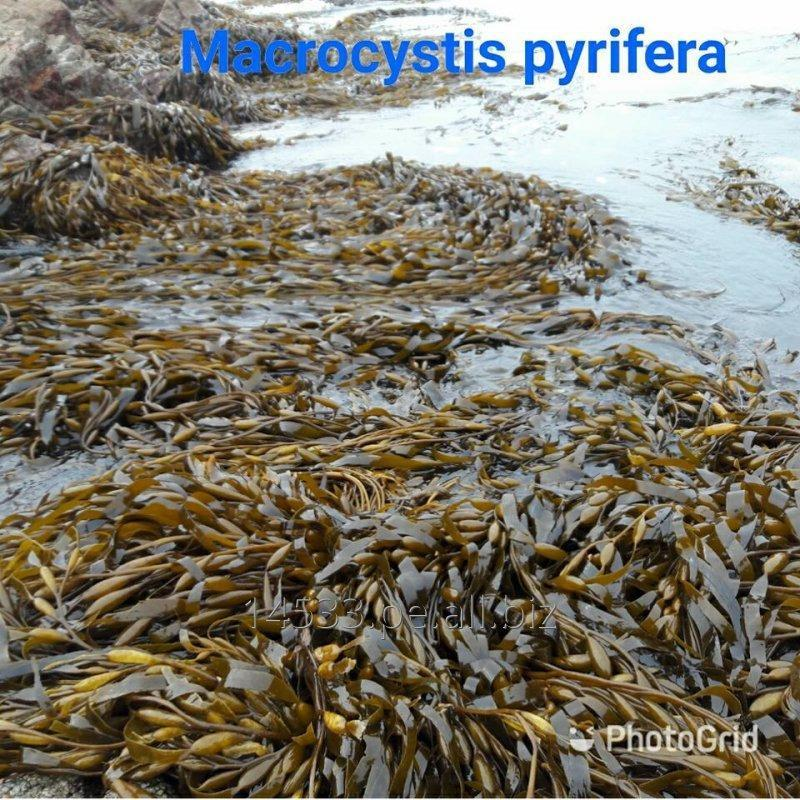 Comprar Seaweed macrocystis pyrifera
