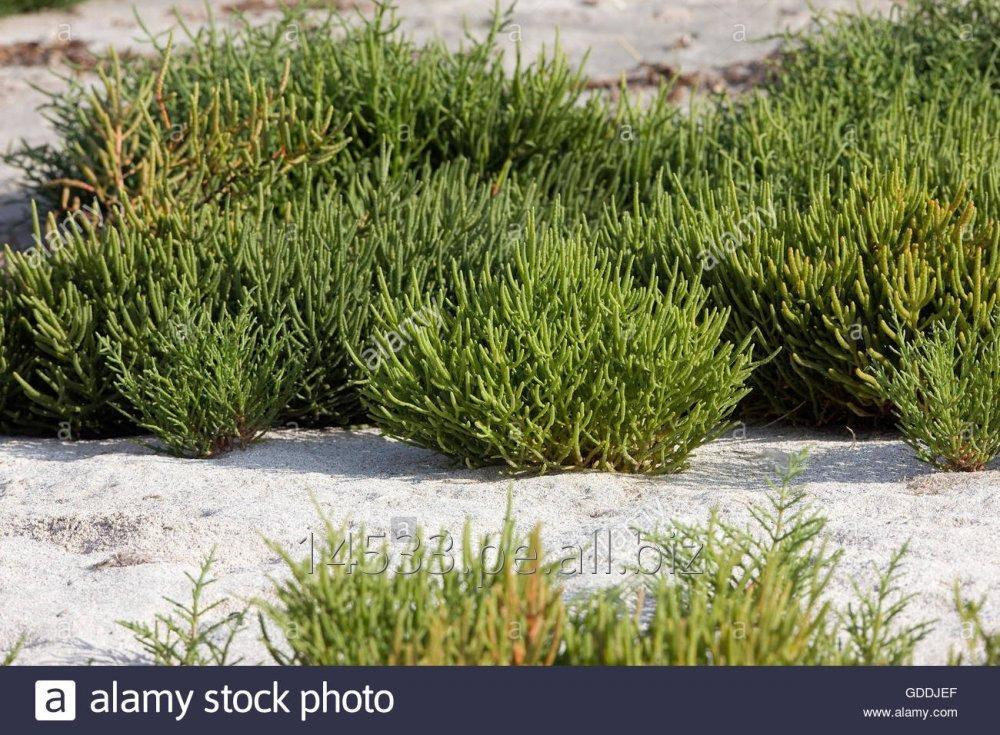 Comprar Seaweed asparagus of the sea. salt grass
