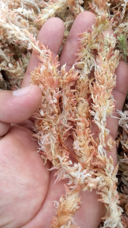Comprar Sphagnum moss