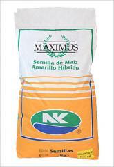 Semillas de maíz
