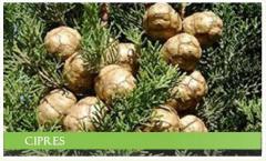 Extracto seco Atomizado de Cupressus Semprevirens L.