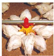 Оборудование для выращивания птицы мясных пород