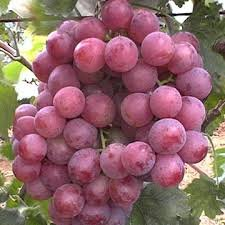 Uvas  Red  Gloves