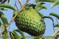 Graviola (annona Muricata)