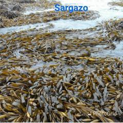 Seaweed Sargazo, sargaso