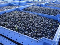 DRIED BLUEBERRIES / FRESH BLUEBERRIES