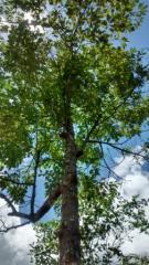 Rosewood Essential Oil - Rosewood