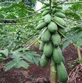 Papaya Taiwanesa (Carica Papaya L.)