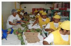 Servicio de procesamiento, empaque y de mango